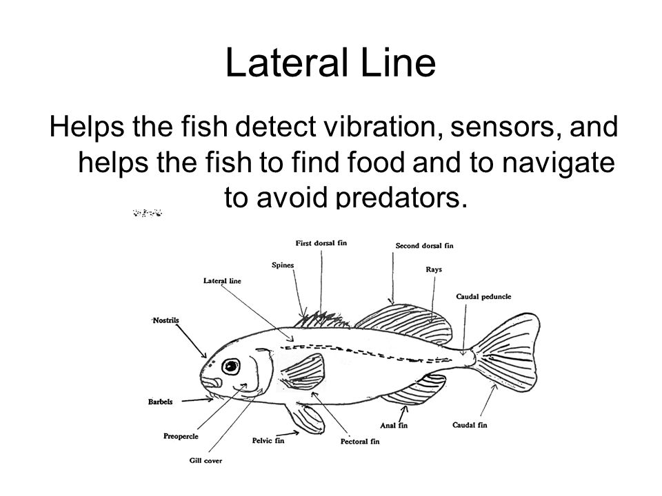 Lateral Line Helps the fish detect vibration, sensors, and helps the fish to find food and to navigate to avoid predators.