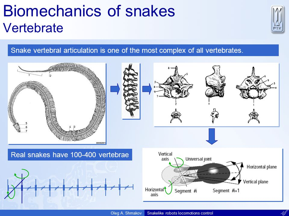 Biomechanics of snakes Vertebrate