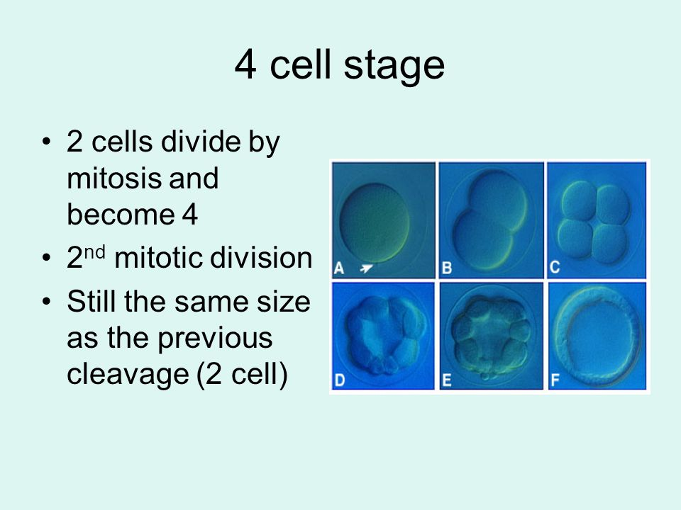 4 cell stage 2 cells divide by mitosis and become 4