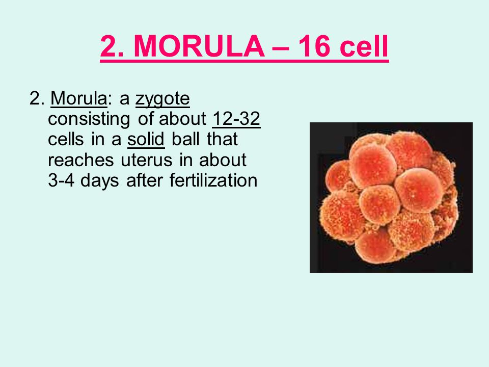 2. MORULA – 16 cell 2.