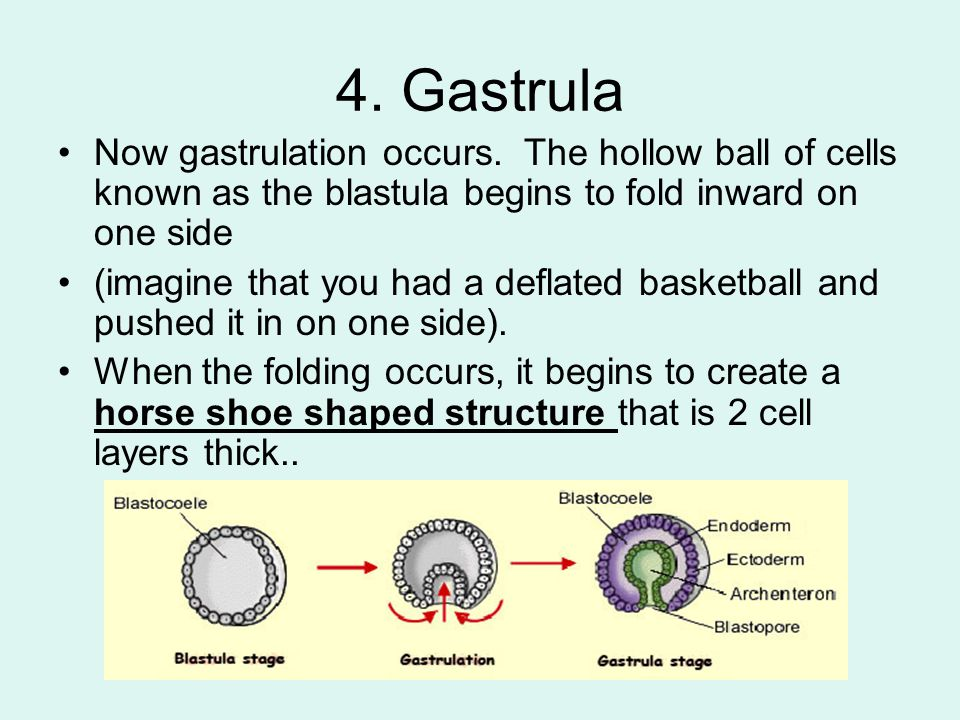 4. Gastrula Now gastrulation occurs. The hollow ball of cells known as the blastula begins to fold inward on one side.