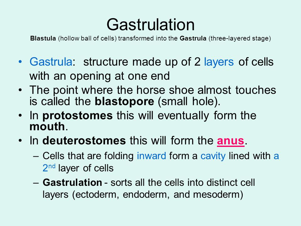 Gastrulation Blastula (hollow ball of cells) transformed into the Gastrula (three-layered stage)