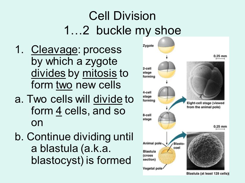 Cell Division 1…2 buckle my shoe