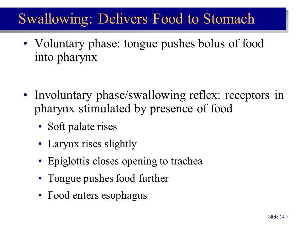 Swallowing: Delivers Food to Stomach