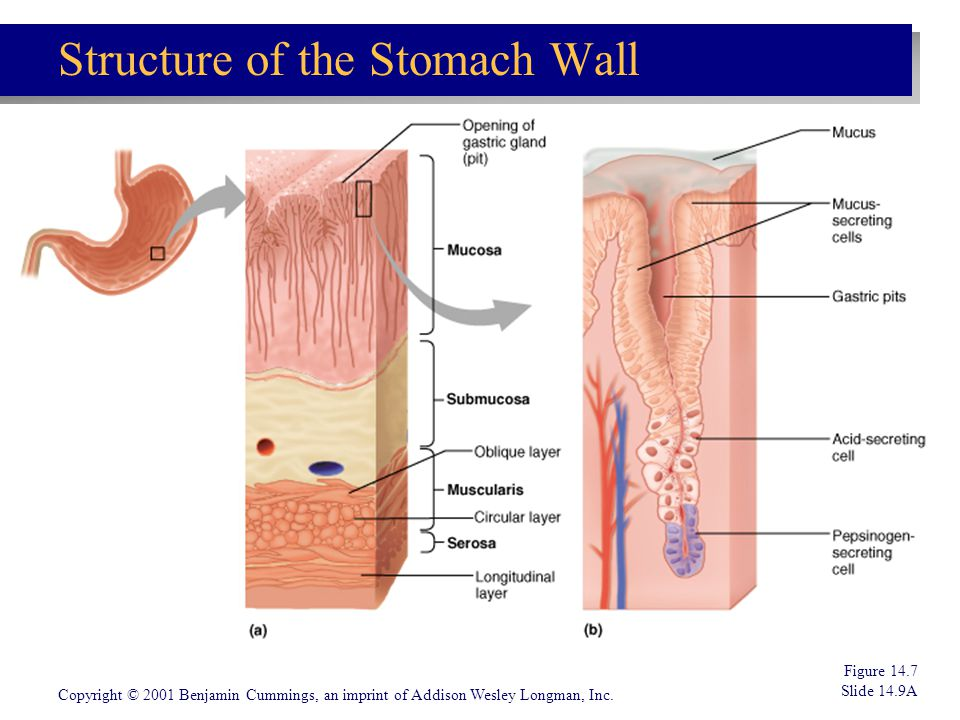 Structure of the Stomach Wall