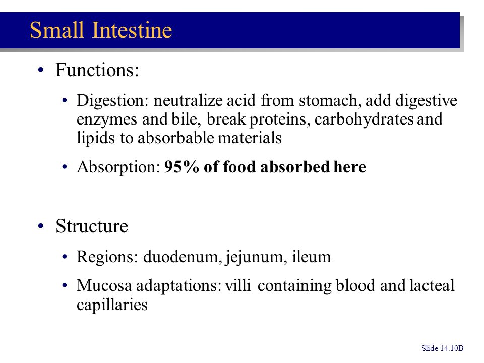 Small Intestine Functions: Structure