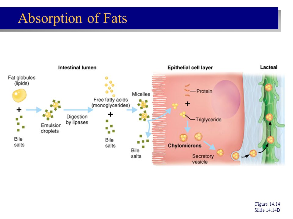 Absorption of Fats Figure 14.14 Slide 14.14B