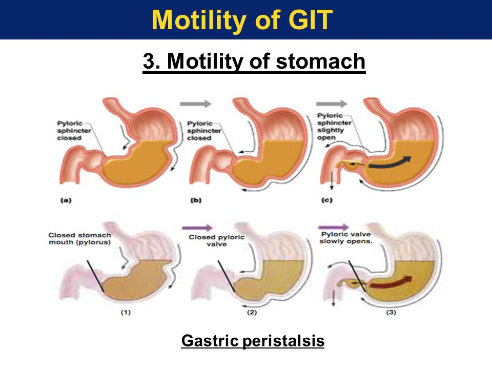 Motility of GIT 3. Motility of stomach Gastric peristalsis