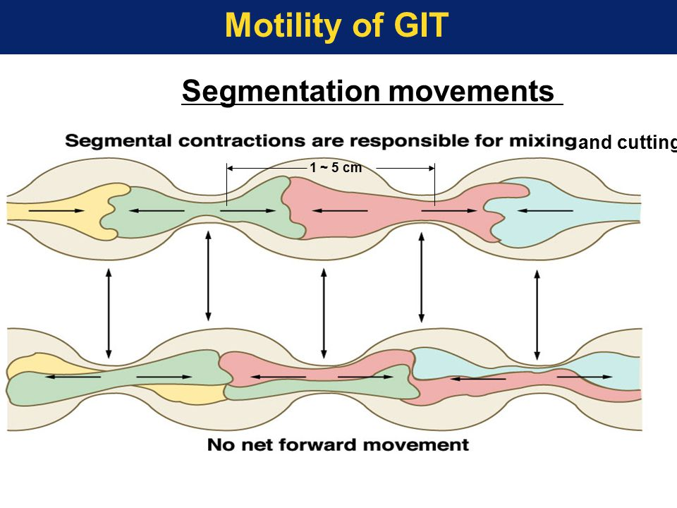 Motility of GIT Segmentation movements 1 ~ 5 cm and cutting