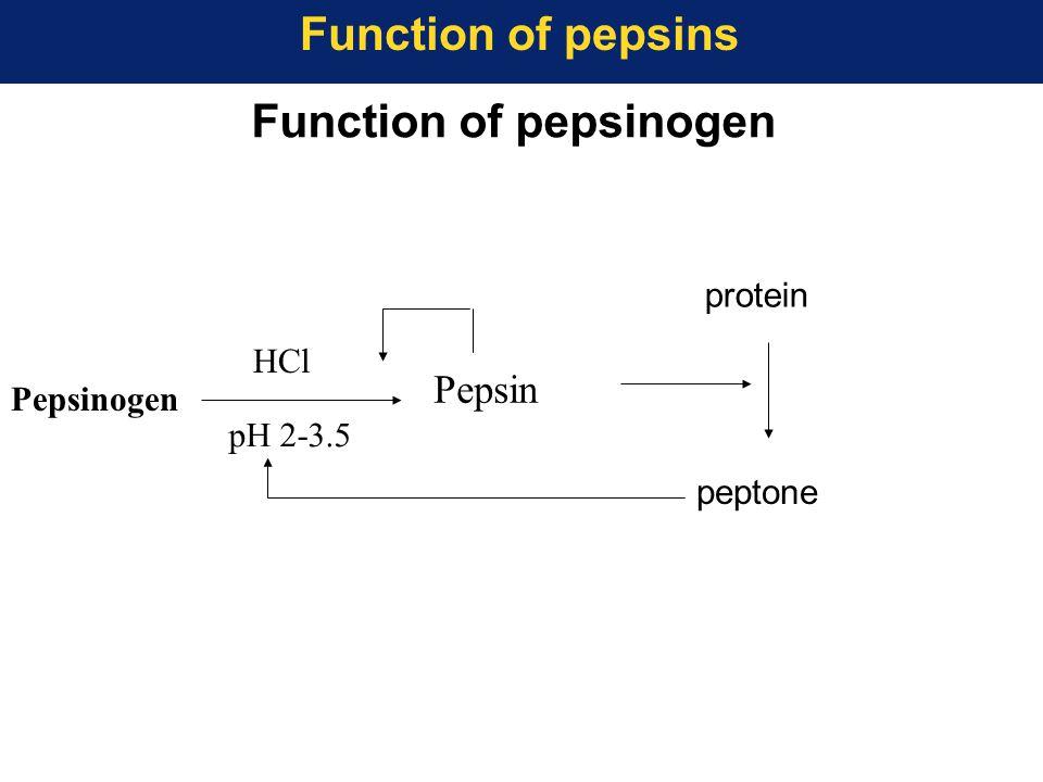 Function of pepsinogen