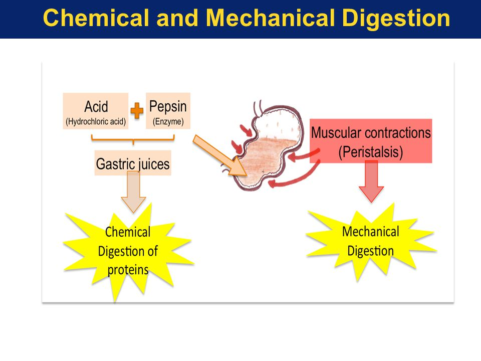 Mechanical and chemical digestion