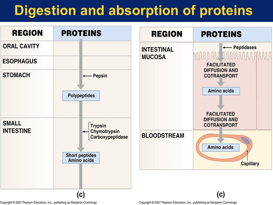 Digestion and absorption of proteins