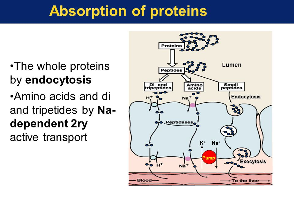 Absorption of proteins