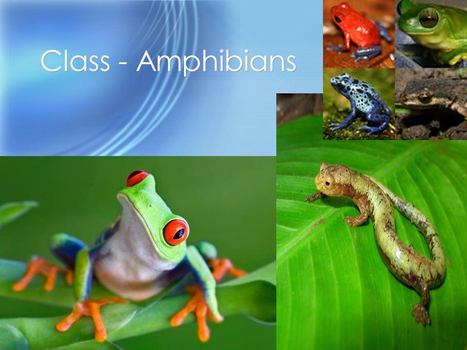 Class - Amphibians