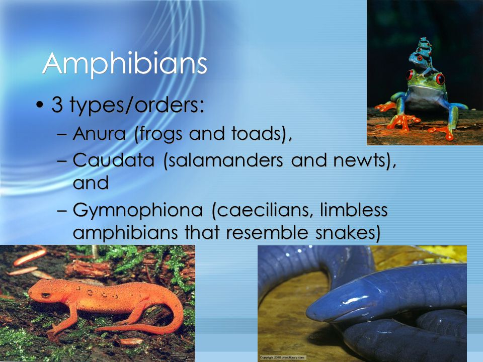 Amphibians 3 types/orders: Anura (frogs and toads),
