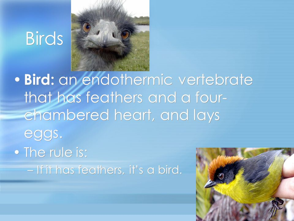 Birds Bird: an endothermic vertebrate that has feathers and a four-chambered heart, and lays eggs. The rule is: