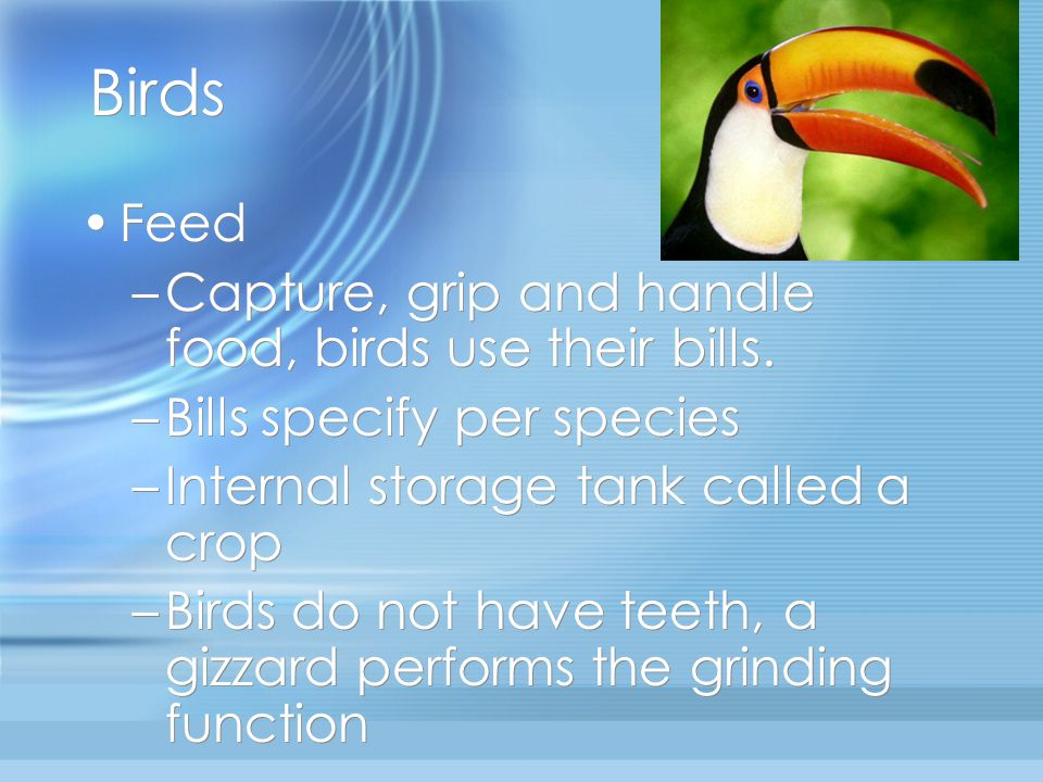 Birds Feed Capture, grip and handle food, birds use their bills.