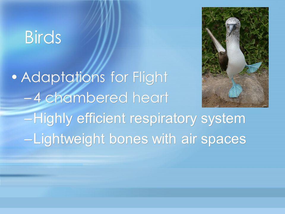 Birds Adaptations for Flight 4 chambered heart