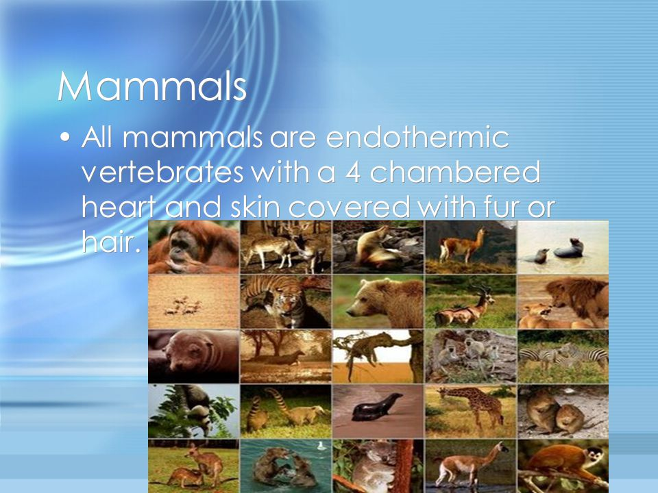 Mammals All mammals are endothermic vertebrates with a 4 chambered heart and skin covered with fur or hair.