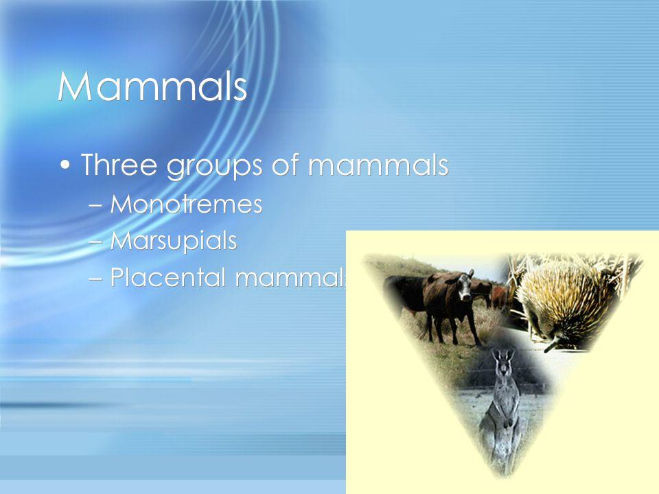 Mammals Three groups of mammals Monotremes Marsupials
