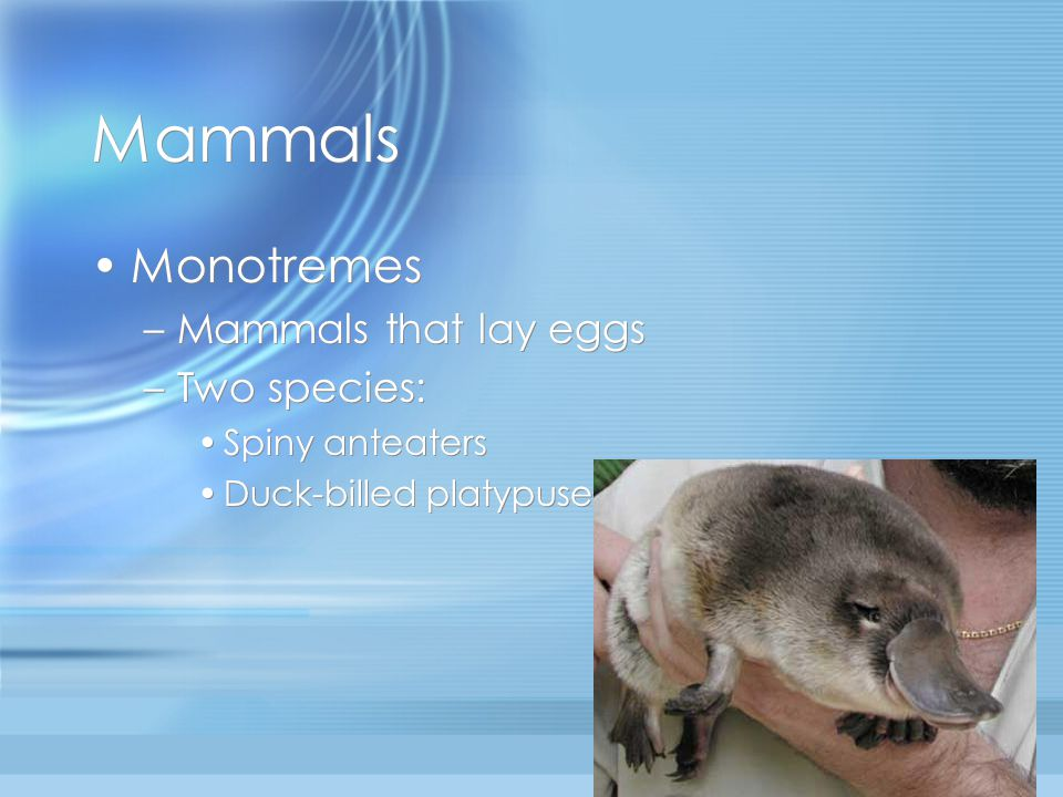 Mammals Monotremes Mammals that lay eggs Two species: Spiny anteaters
