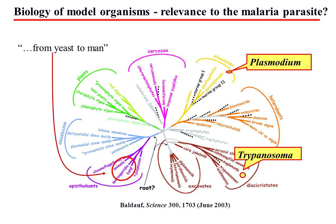 Biology of model organisms - relevance to the malaria parasite