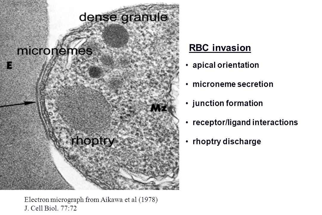 RBC invasion apical orientation microneme secretion junction formation