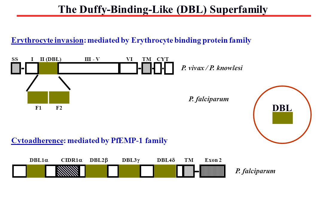 The Duffy-Binding-Like (DBL) Superfamily