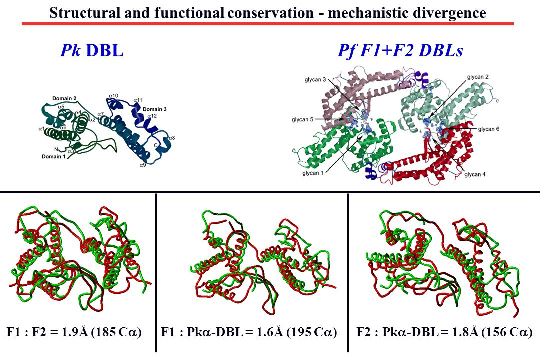 Structural and functional conservation - mechanistic divergence