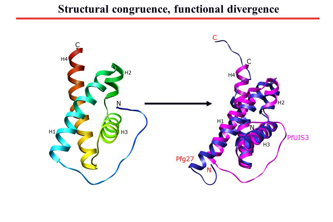 Structural congruence, functional divergence