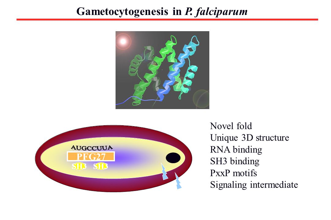 Gametocytogenesis in P. falciparum