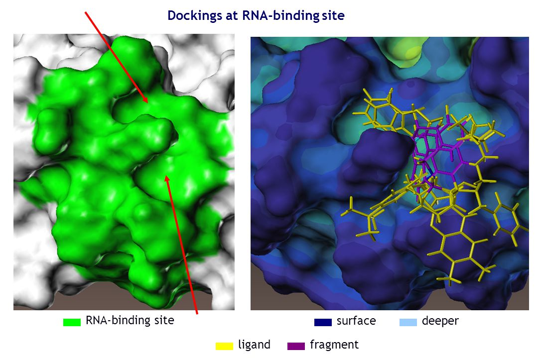 Dockings at RNA-binding site