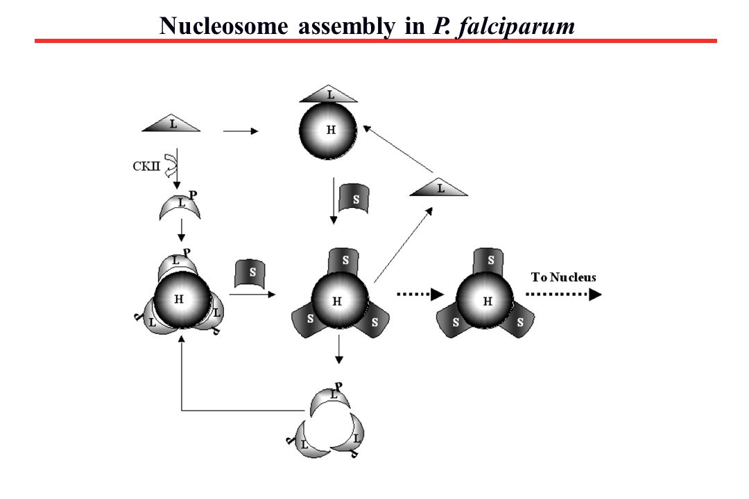 Nucleosome assembly in P. falciparum