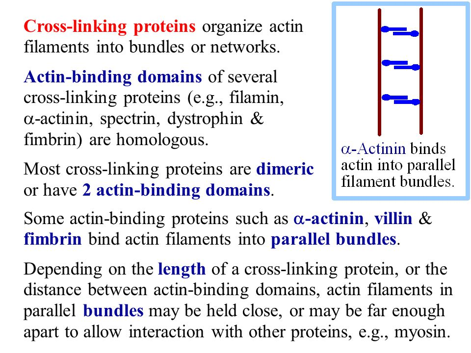 Cross-linking proteins organize actin filaments into bundles or networks.