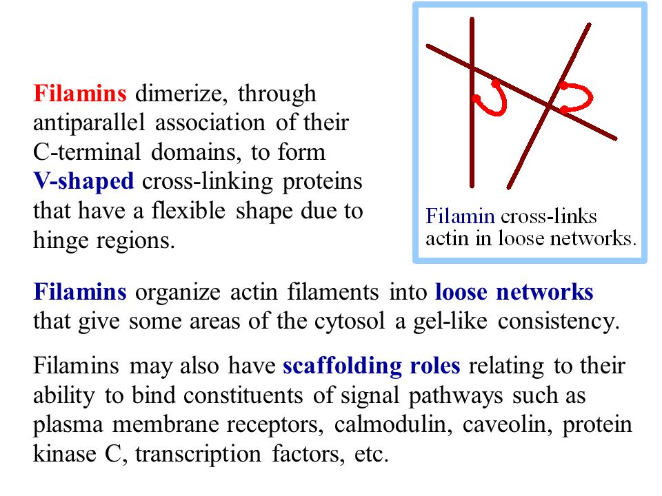 Filamins dimerize, through antiparallel association of their C-terminal domains, to form V-shaped cross-linking proteins that have a flexible shape due to hinge regions.