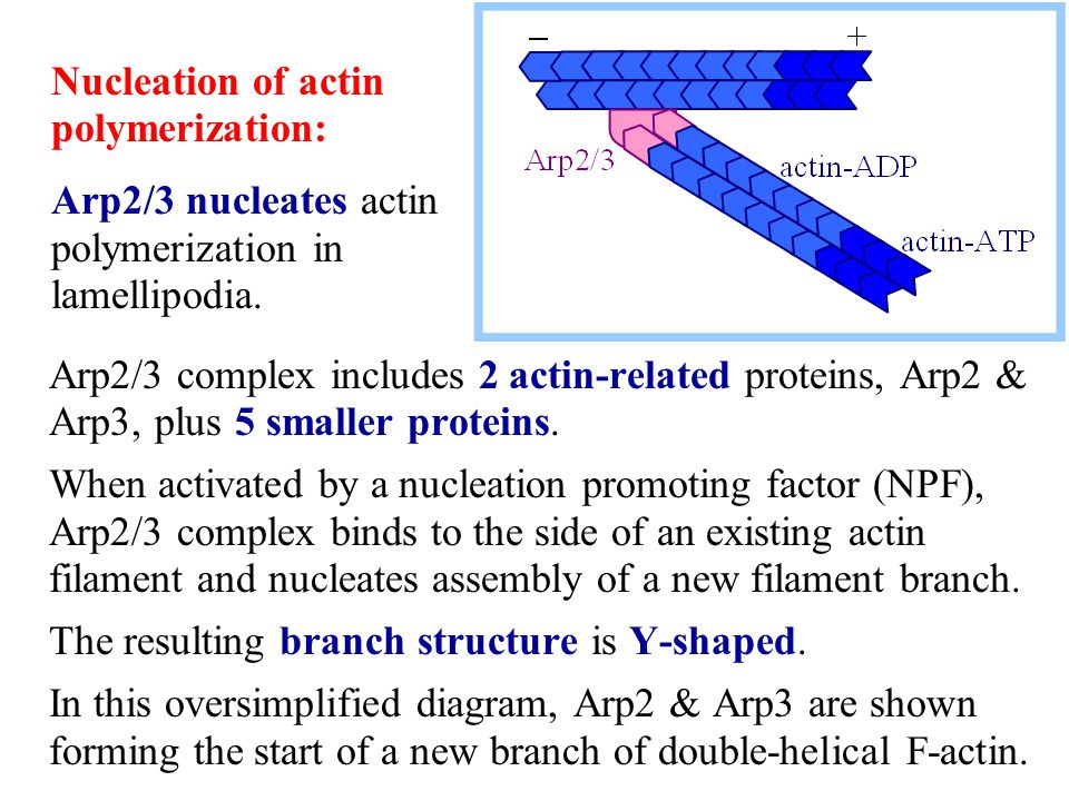Nucleation of actin polymerization: