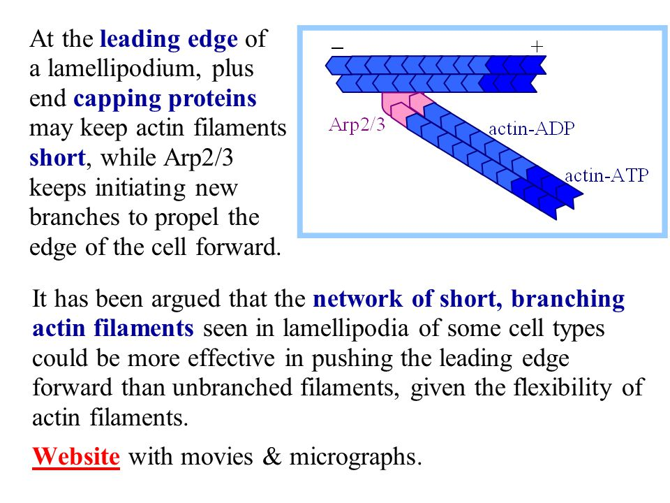 At the leading edge of a lamellipodium, plus end capping proteins may keep actin filaments short, while Arp2/3 keeps initiating new branches to propel the edge of the cell forward.