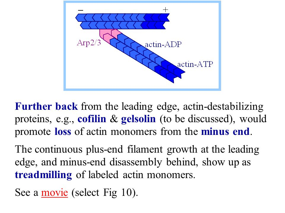 Further back from the leading edge, actin-destabilizing proteins, e. g
