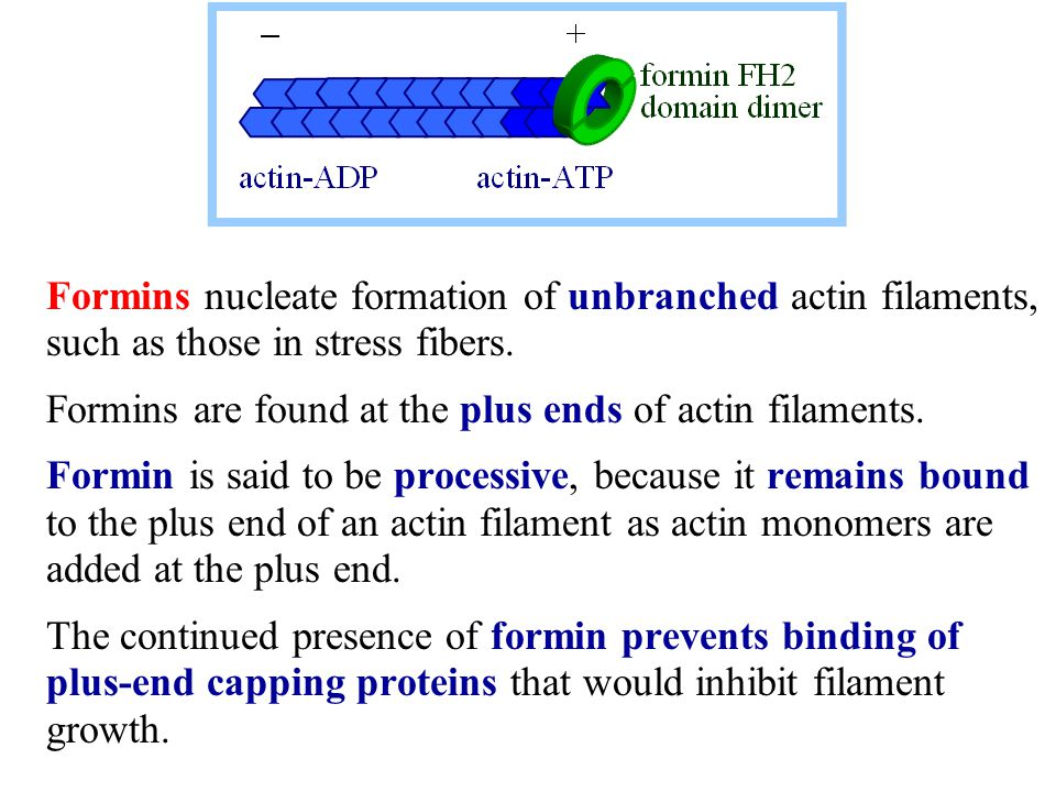 Formins nucleate formation of unbranched actin filaments, such as those in stress fibers.
