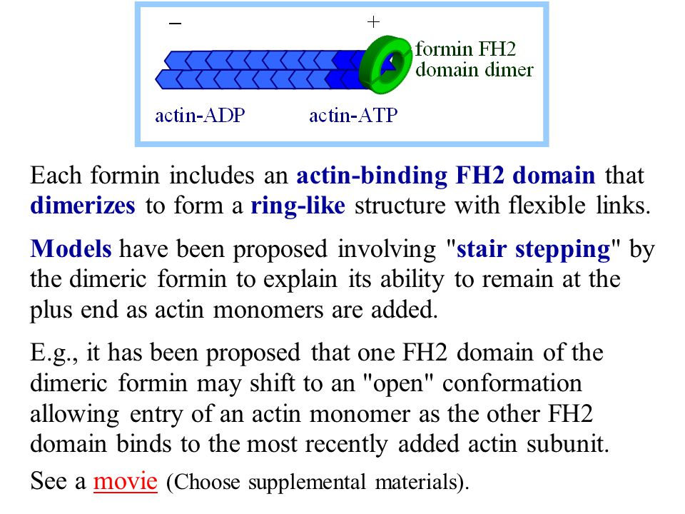 Each formin includes an actin-binding FH2 domain that dimerizes to form a ring-like structure with flexible links.
