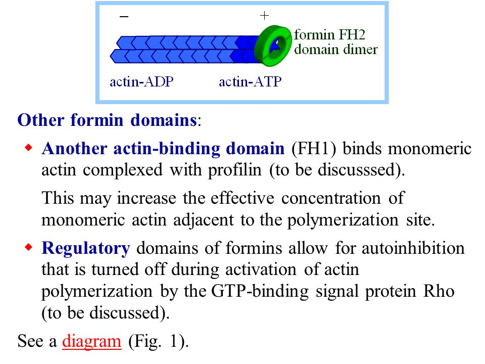 Other formin domains: Another actin-binding domain (FH1) binds monomeric actin complexed with profilin (to be discusssed).