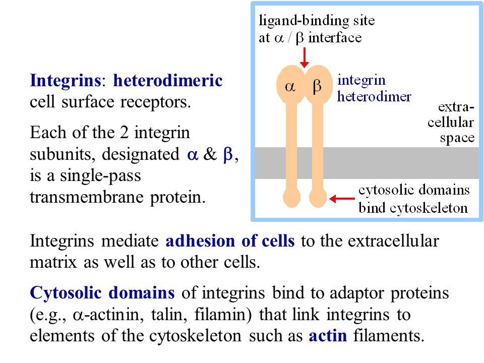 Integrins: heterodimeric cell surface receptors.