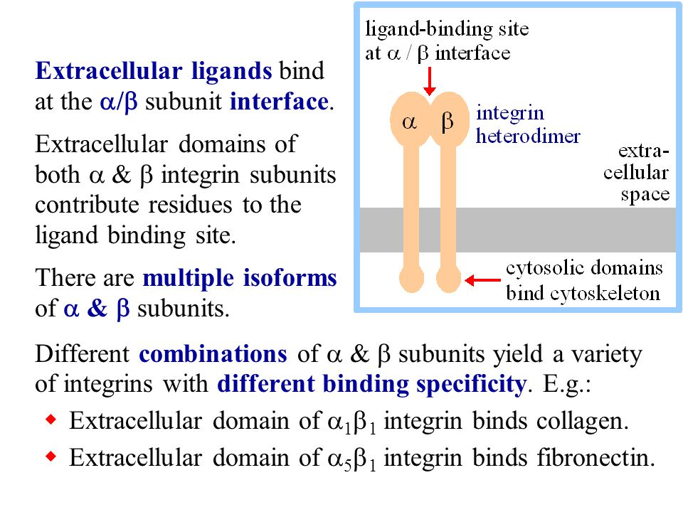 Extracellular ligands bind at the a/b subunit interface.