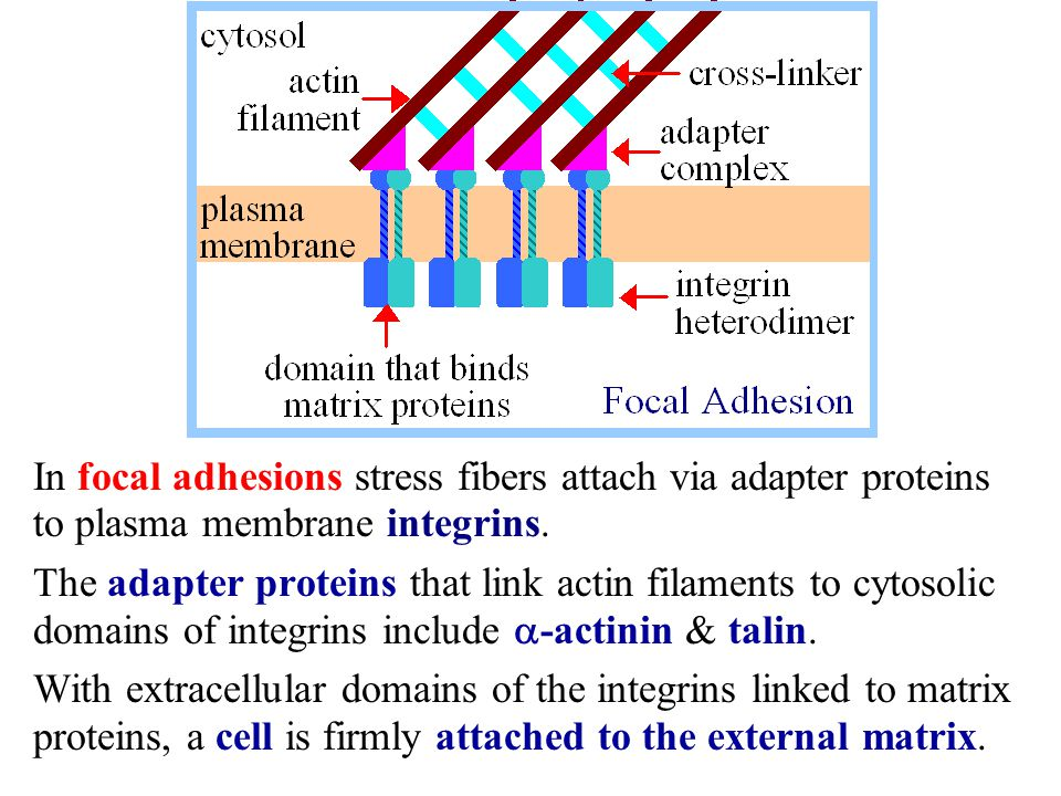 In focal adhesions stress fibers attach via adapter proteins to plasma membrane integrins.