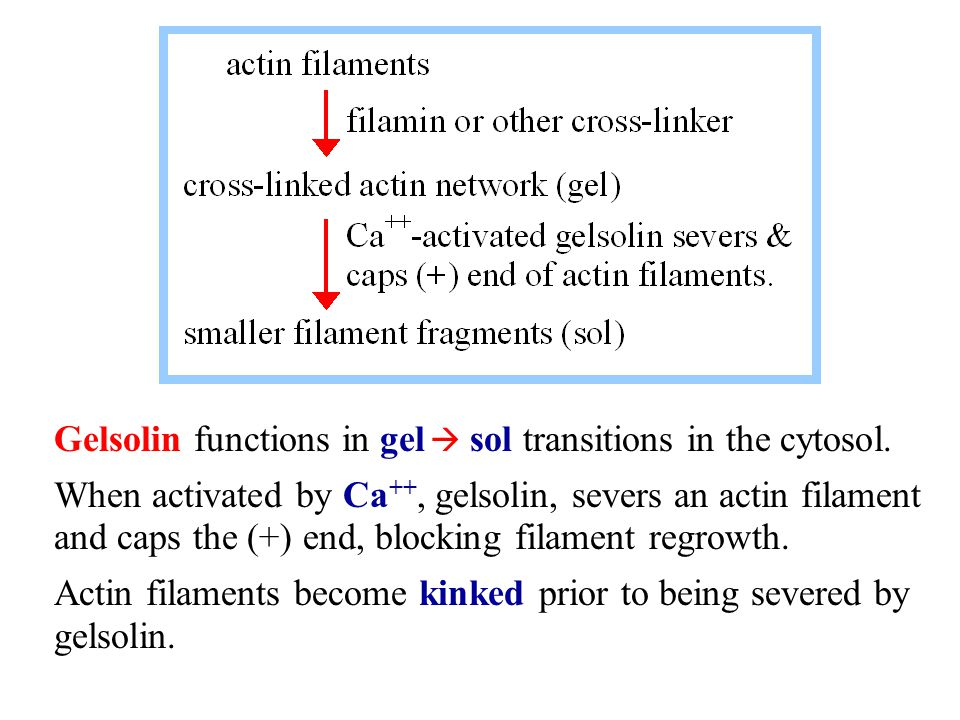 Gelsolin functions in gel  sol transitions in the cytosol.