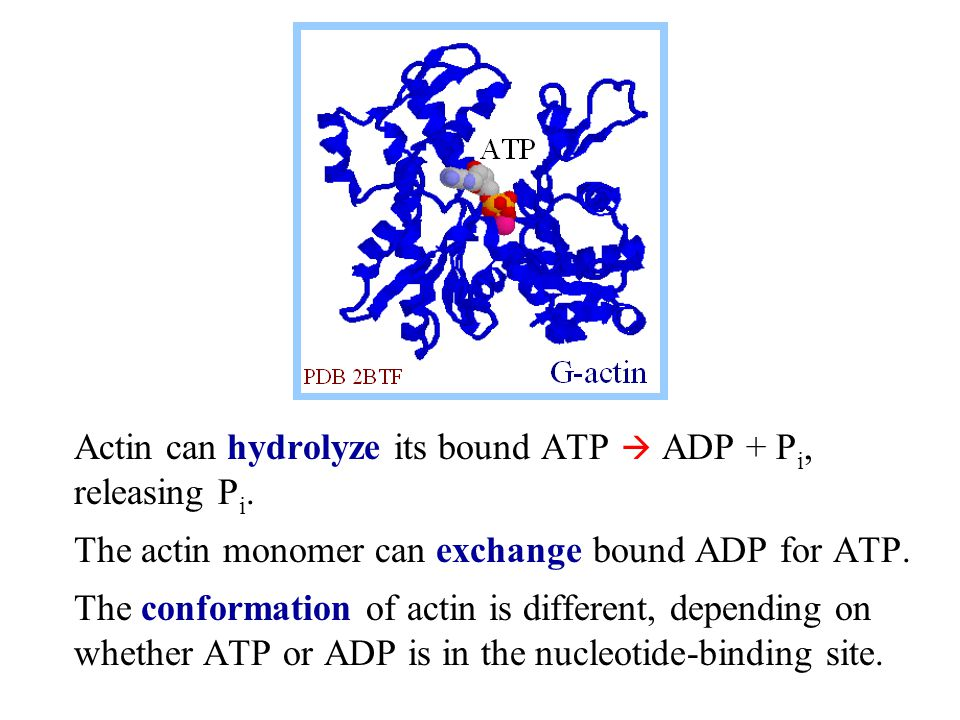Actin can hydrolyze its bound ATP  ADP + Pi, releasing Pi.