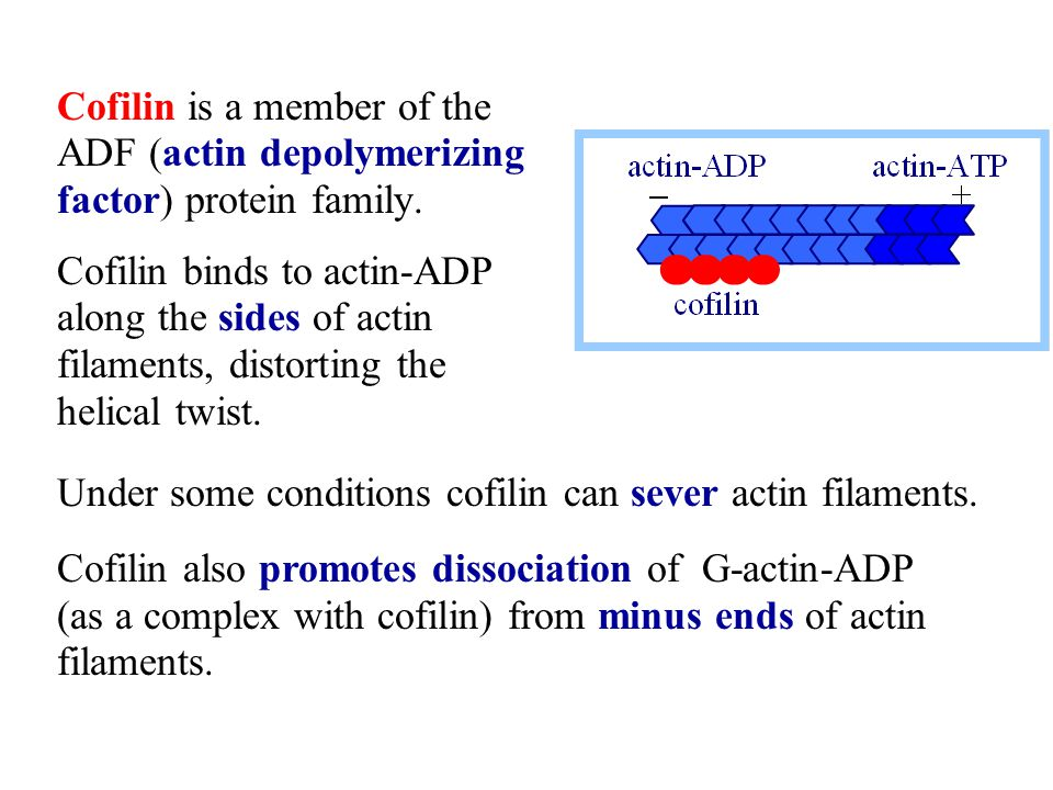 Cofilin is a member of the ADF (actin depolymerizing factor) protein family.