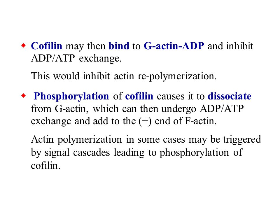 Cofilin may then bind to G-actin-ADP and inhibit ADP/ATP exchange.