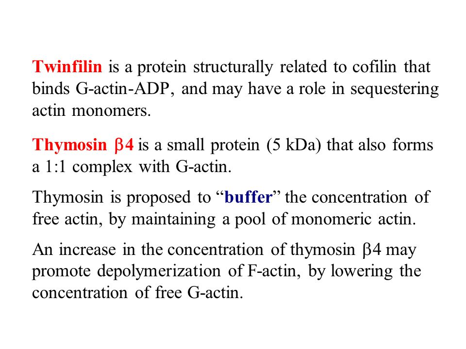 Twinfilin is a protein structurally related to cofilin that binds G-actin-ADP, and may have a role in sequestering actin monomers.