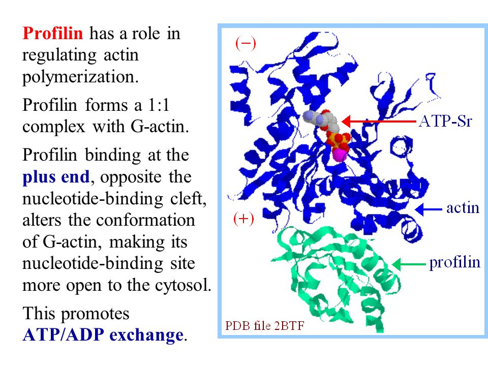 Profilin has a role in regulating actin polymerization.